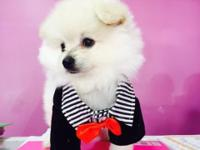 Beatifuls white pomeranian boy, we got 2 boys which are