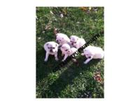 Pug young puppies ... yes ... White ... purebred. 2