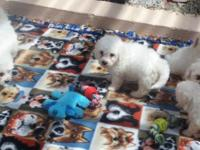 I have 4 Bichon Frise Puppies looking for forever