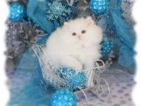 This is Angel. She is a white teacup female Persian