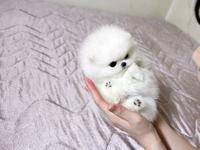 Darling teacup triple coat white teacup Pom available.