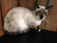 White Toes's story White Toes is a beautiful Siamese