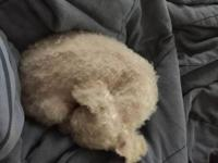 I have rescued a female white toy poodle from an