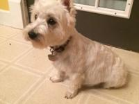 The durable West Highland White Terrier, more