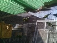 I have a colony of White-winged Parakeets (Brotogeris).