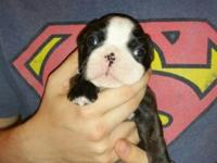 I have 4 male Boston Terrier puppies born 3-8-15 they