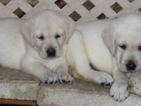 AKC Yellow Labrador puppies ready for new homes end of