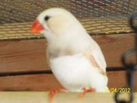 Also known as Chestnut Flanked White zebra finches.I