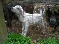 We have Angora goats starting at $50 each (adults),