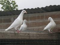 start your own white dove release business for
