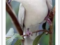 We Ship! White ring-necked Doves for sale!