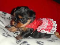Small YORKSHIRE TERRIER looking for adoption. They have