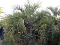WHOLESALE PALMS WE ARE A WHOLESALE PALM GROWER LOCATED