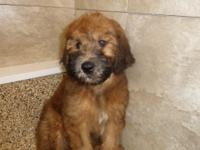 Female Whoodle (soft coated Wheaten Terrier-Poodle) up