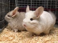 We have a pair of female chinchillas looking for their