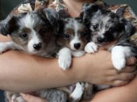 Our family has 3 exotic little puppies that are ready