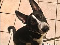 My story Wiley is a 2.5 year old heeler mix who is