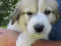 Will's story Will-Lab/Great Pyrenees male puppy, ~ 12