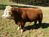 "Miniature hereford cattle. ""WILL"" split herd. Bull, 4"