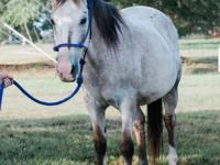 Willow is a very sweet 14 hand, 14 year old Appaloosa