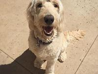Willow's story Willow is an 8 month old goldendoodle