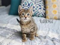 Willow Kitten Female's story Meet Willow ~ Willow is a