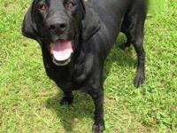 Meet Willow! Willow is a beautiful black lab approx. 3