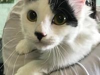 Willow's story This sweet Turkish Van girl is ready for