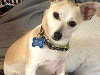 Meet Willy!  He is a chihuahua, neutered male, 9#, 1.5
