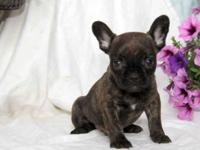 Here comes Willy, a bouncy French Bulldog puppy with a