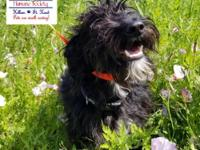 Willy is a 8 month old Schnauzer mix. He is good with