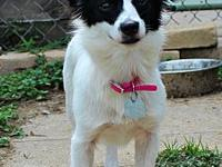 Wilma's story Wilma Female Chihuahua mix- Visual breed