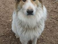 Wilson Norris's story Great Pyrenees mix Wilson is a