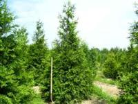 Evergreen trees for windbreak, screening, or privacy