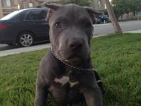 Blue bully pit we call him Winky 13 weeks he has his