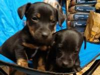We have 3 puppies left two blacks one female $50 an one