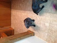 Winslow is a 4 1/2 month old AKC Weimaraner male puppy