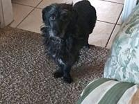 My story Winston is a long-haired Dachshund mix. He is