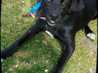 Winston is a fun loving, 7 mos. lab mix pup:) He will