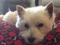 Winston is an 8 year old Westie freed from a commercial