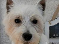 Winston's story Winston is an 8 year old Westie freed