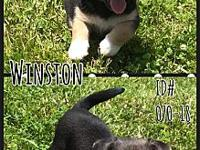 Winston's story Winston #070-18 This playful pup is a 2
