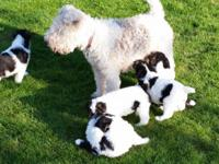 AKC registered Wire Fox Terrier Pups,  DOB 2/17/15