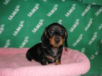 Available: AKC Wirehair dachshund pups. 3 women