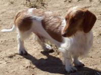 Fancy wire-coated, red piebald, male dachshund for