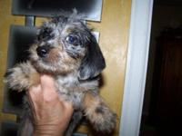 Dapple and black and tan pups available; wirehaired
