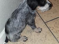 Absolutely gorgeous German Wirehaired pointer - Blue