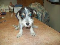 Wirehaired Terrier - Ajax - Small - Young - Male - Dog