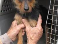 Wirehaired Terrier - Harrold - Small - Adult - Male -