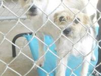 Wirehaired Terrier - Mojo-47749 - Small - Adult - Male